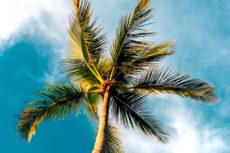 los ángeles palm trees